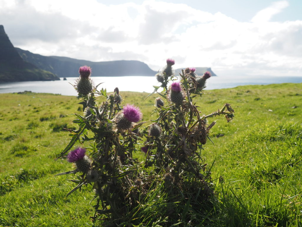 thistles neist point lighthouse isle of sky scotland
